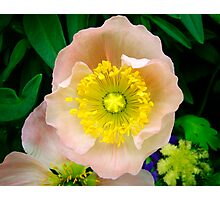 Yellow & Pink Flower Closeup Photographic Print