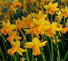 DAFFODILS BIG TIME by pjm286