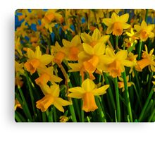 DAFFODILS BIG TIME Canvas Print