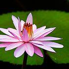 Utmost Beauty by Steven  Siow