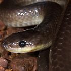 Slaty-grey snake by Stewart Macdonald