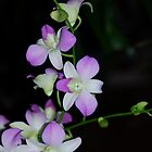 Orchids by Cheryl  Lunde