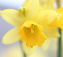 day 59: mini daffodils (tete-a-tete) by Lexx
