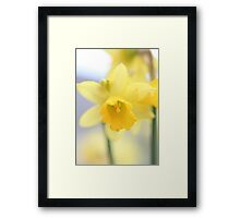 day 59: mini daffodils (tete-a-tete) Framed Print