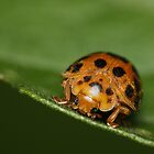 Ladybug 28 Spots having a lunch on a Tomato Leaf  by earthsmate