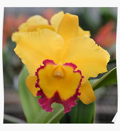Bright Yellow and Red Orchid Poster