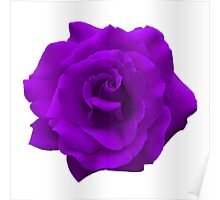 Single Large High Resolution Purple Rose Poster