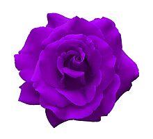 Single Large High Resolution Purple Rose Photographic Print