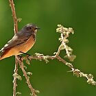 Redstart on Acacia by David Clark