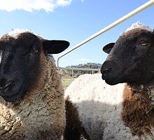 2 Doper Cross Lambs. by nJohnjewell