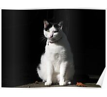 Black and White Cat Sitting Poster