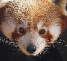 Red Panda by Dawn B Davies-McIninch