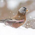 Rosy-Finch kicking up some snow by Eivor Kuchta