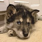 Wolf Hybrid Pup by AspenWillow