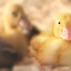 Duckling by Shelley Neff
