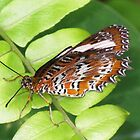 Orange Lacewing Butterfly (Cethosia penthesilea) by Marilyn Harris