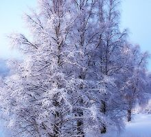Winter Birch #1 by MarianaEwa