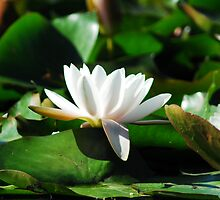 Water lily by Limitlessonline
