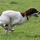 English Springer in Full Flight by TheGolfer