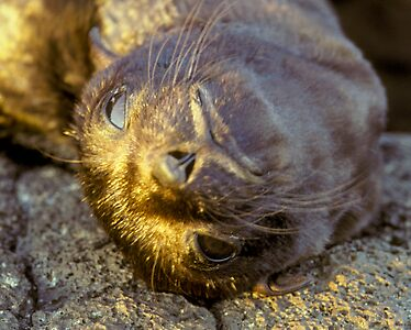 Galapagos Newborn Sea Lion
