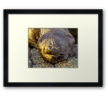 Galapagos Newborn Sea Lion Framed Print