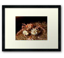 Boxer Crab Framed Print