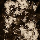 Blossom study in sepia by Lesley Smitheringale