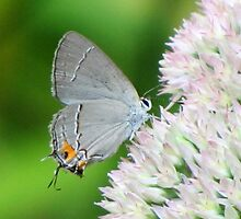 Delicate Gray Hairstreak Butterfly by Jean Gregory  Evans