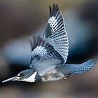 Male Belted Kingfisher at Speed by David Friederich