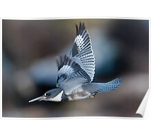 Male Belted Kingfisher at Speed Poster