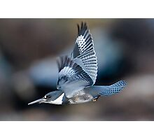 Male Belted Kingfisher at Speed Photographic Print