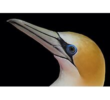 New Zealand Gannet Photographic Print