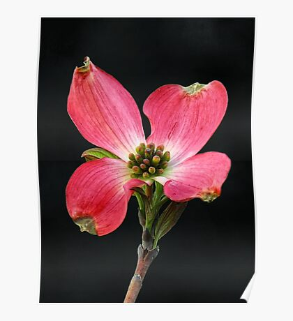 Cherokee Chief Dogwood Bloom Poster