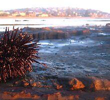 Sea Urchin by annadavies
