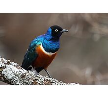 Superb Starling, Serengeti, Tanzania  Photographic Print