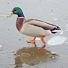 A Skating Duck by AARDVARK