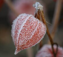 Chinese Lanterns with an Icy Coat by Pamela Jayne Smith