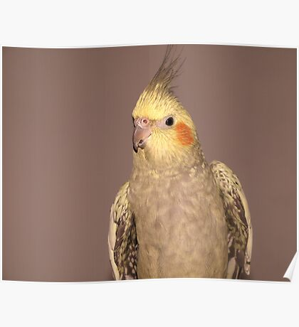 Female Cockatiel Poster