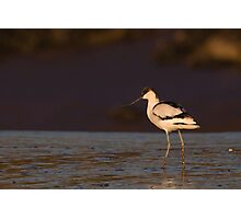 Avocet Photographic Print