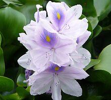 Water Hyacinth by 29Breizh33