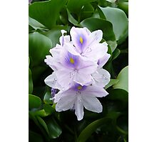Water Hyacinth Photographic Print