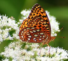 Great Spangled Fritillary on White Flowers by Laurel Talabere