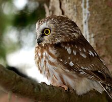 Saw Whet Owl by ajnphotography