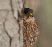 Peek - a - Boo  Merlin by ajnphotography