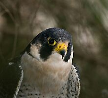 Peregrine Portrait by ajnphotography