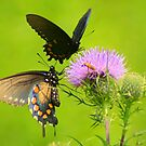 Spicebush Swallowtails in Tandem on a Thistle Flower by Laurel Talabere