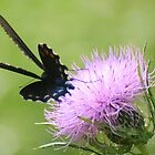 Spicebush Swallowtail on a Thistle Flower in Silhouette by Laurel Talabere