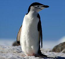 Chinstrap Penguin, Antarctic Peninsula by David Jamrozik