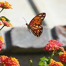 Golf Fritillary Butterfly in flight.... by DonnaMoore