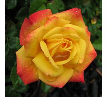 Rose - golden glow with raindrops Photographic Print
